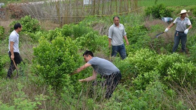 En el mes de mayo, funcionarios del poblado de Wenshi en el condado de Guanyang, en la Región Autónoma Zhuang de Guangxi, pusieron en marcha una campaña para talar los árboles frutales y utilizar la tierra para plantar cereales.